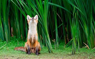 Fox Grass Neck HD Wallpaper