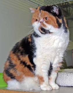 exotic shorthair cats breed pisica gato kitten pussycat pets animal grimalkin kat mace pisik kotka kocka kass pusa kissa katze macska kottur kakis kate qattus kot katt kedi con meo kucing pictures