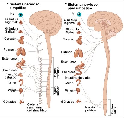 Del Sistema Nervioso Para Colorear Esquema Del Sistema Nervioso
