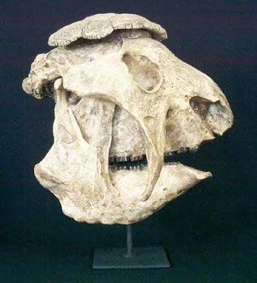 Panochthus skull