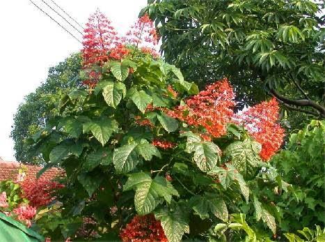 http://manfaatnyasehat.blogspot.com/2014/09/manfaat-bunga-pagoda-untuk-pengobatan.html