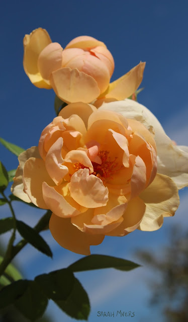 roses, rose, flower, flowers, plants, photography, sky, garden, nature, peach, apricot, gold, leaves, vertical, blue, english, david, austin, amy myers, walk, bright, sunlight, summer, rosa, natura, plantas, flores, azul, breeze, warm, photograph, digital