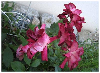 Burgunderfarbene Rose