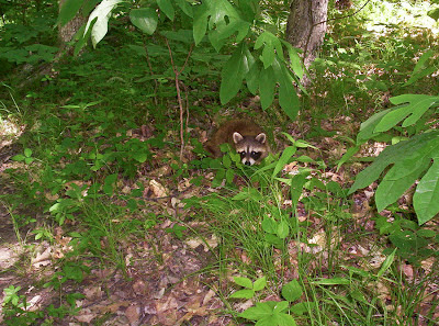 Picture of a Small Racoon in Pinckney Recreation Area