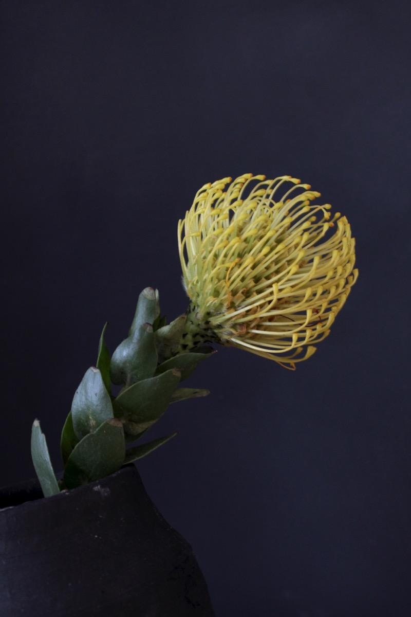 keltainen Neulatyyny protea