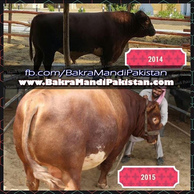Jinnah Cattle Farm, Cow Mandi 2015, Karachi Cow Mandi, Karachi Sohrab Goth Mandi, karachi sohrab goth mandi 2015