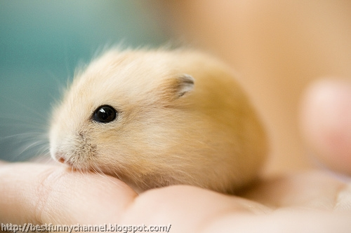 Small hamster.