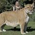 ligers-liger-rare-animals- ...