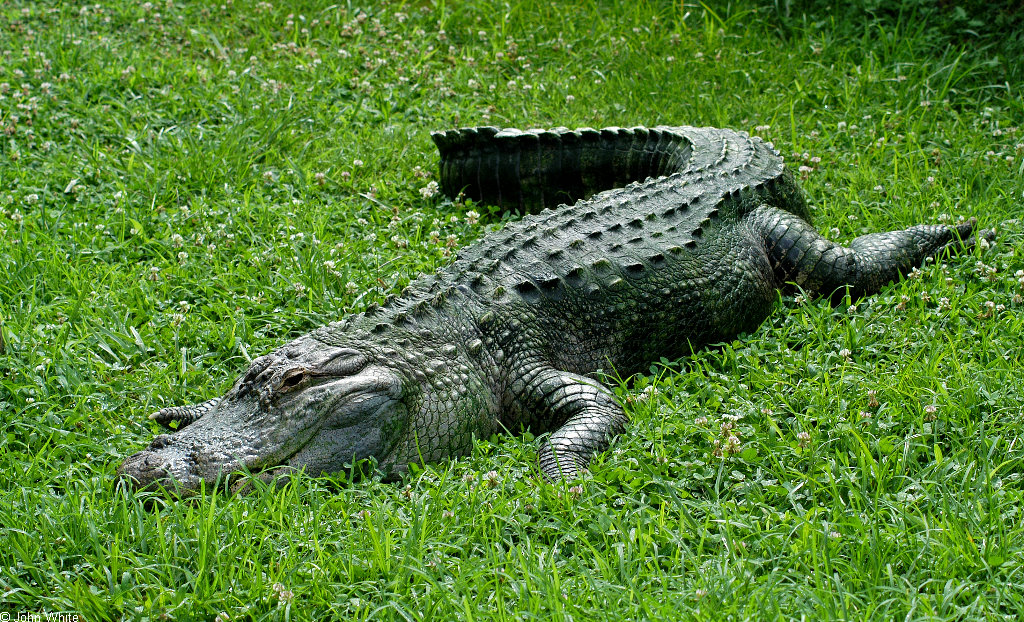 The American Alligator Few Facts Amp Photographs The
