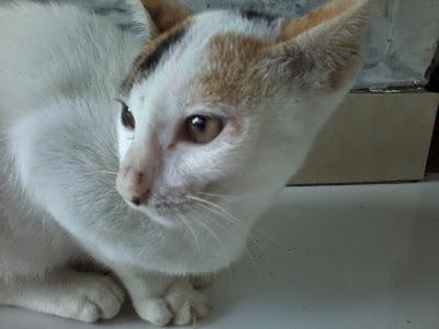 kucing telon