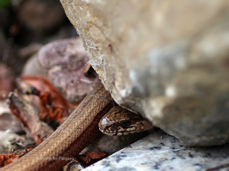 Slowworm Anguis fragilis macro photo of the head
