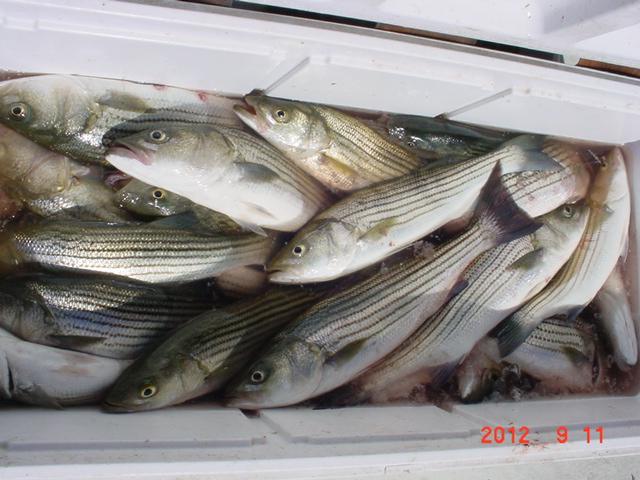 Fishing on maryland 39 s chesapeake bay with sawyer charters for Striper fishing chesapeake bay
