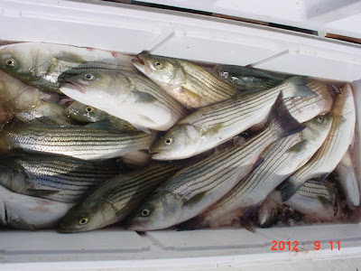 Saltwater report chesapeake bay striped bass fishing for Striper fishing chesapeake bay