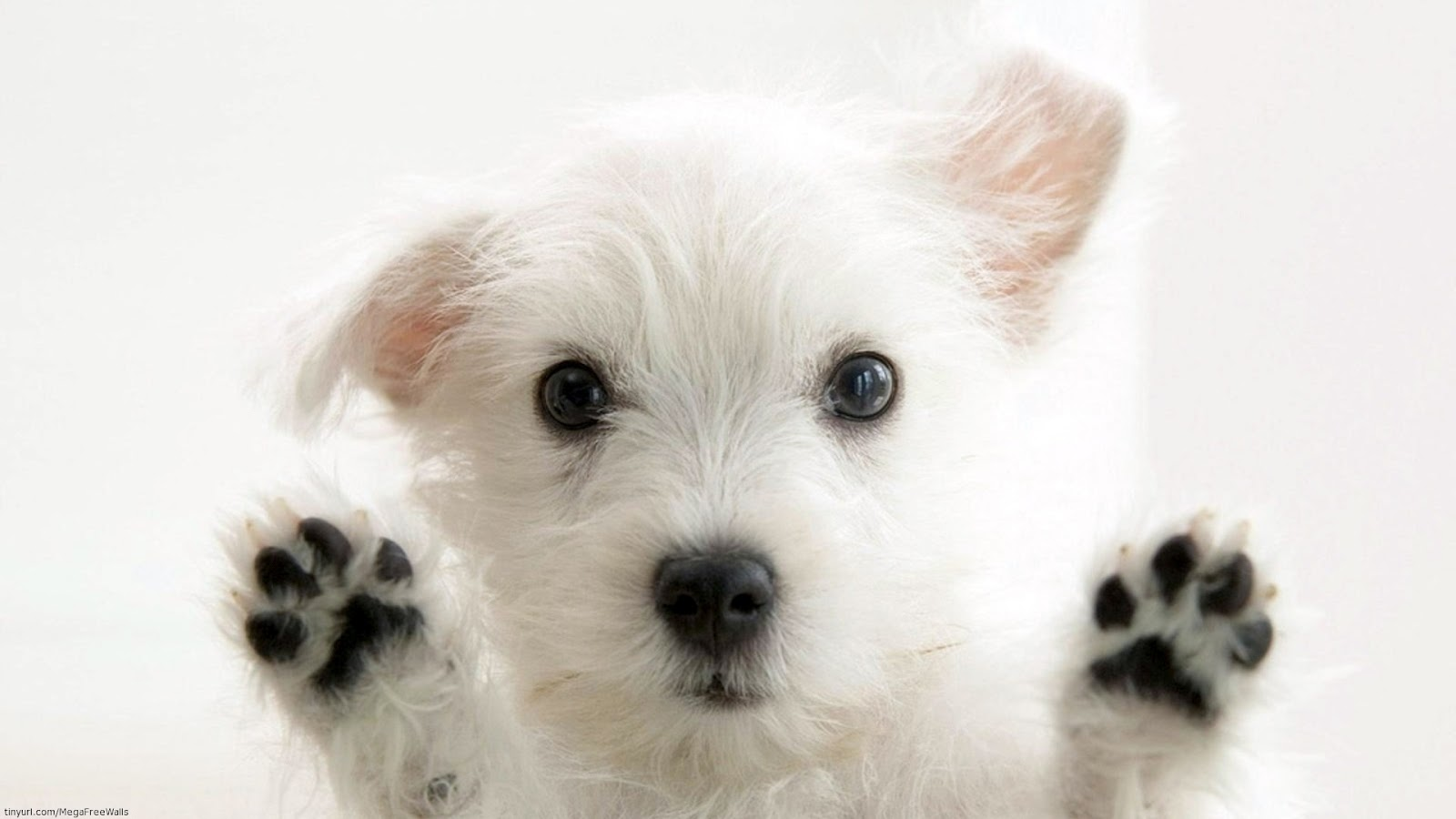 White dogs and Puppies white wallpapers