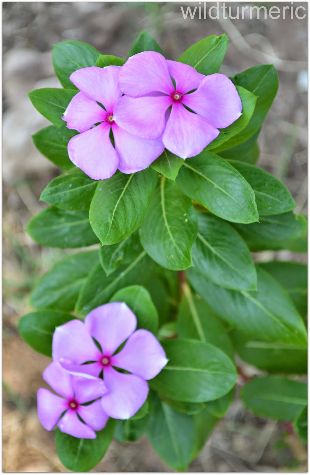 4 Top Health Benefits Of Nithyakalyani Sadabahar Flower Rosy