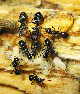 Minor and major workers of Camponotus bedoti with larvae, pupae and eggs