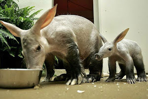 Aardvarks photo