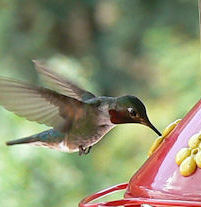Herbs that attract hummingbirds
