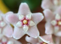 Hoya carnosa compacta blossoms