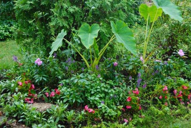 Annuals by the front steps this year include small pop pink begonias (which seem to be delectable to the pill bugs!), purple-pink New Guinea impatients, darker purple Angelonia,  the white froth of Euphorbia 'Diamond Frost' (which deals well with drought) and the elephant ears (Colocasia).