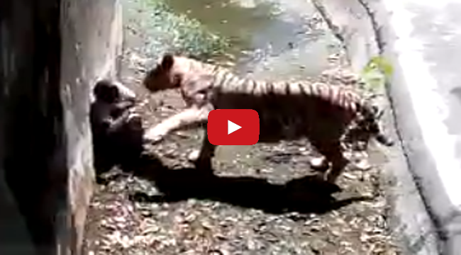 Watch White Tiger Attacks Student Iinside India's Delhi Zoo on Viral Video