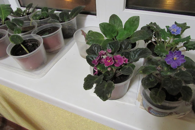 Домашние фиалки их выращивание 297