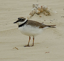 Little Ringed Plover_2011