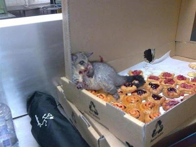 possum eating pastries