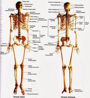 Fakta Unik Tentang Tulang Manusia