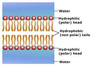 a hydrophilic head Hydrophilic polymers contain polar or charged functional groups, rendering them soluble in water within this section, most hydrophilic polymers are grouped by the chemistry of their structure for example, acrylics include acrylic acid, acrylamide, and maleic anhydride polymers and copolymers.