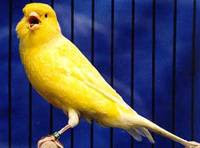 Cara Merawat Burung Kenari Agar Cepat Bunyi