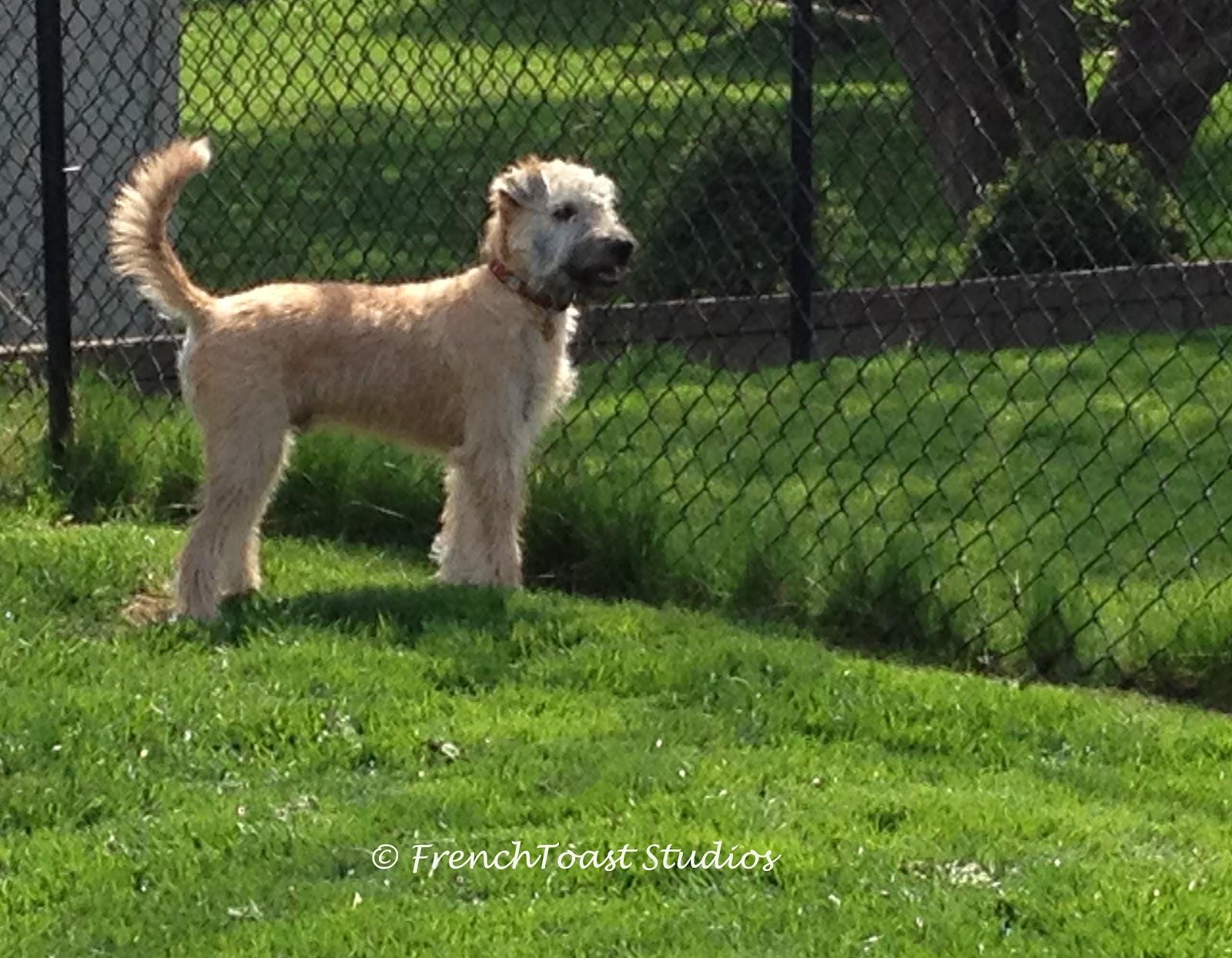 Wheaten terrier development nvjuhfo Images