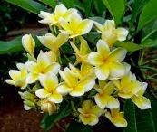 manfaat bunga kamboja, bunga kamboja, khasiat bunga kamboja, jenis jenis bunga kamboja, manfaat bunga kamboja kering, khasiat dan manfaat bunga kamboja;