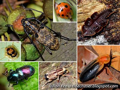 Beetles (Order Coleoptera)