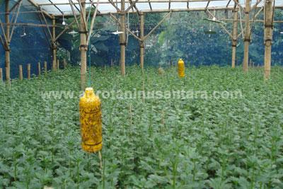 aplikasi-METILAT-LEM-NASA-di-lahan-pertanian-mencegah-serangan-hama-lalat-buah-by-Agro-Nusantara