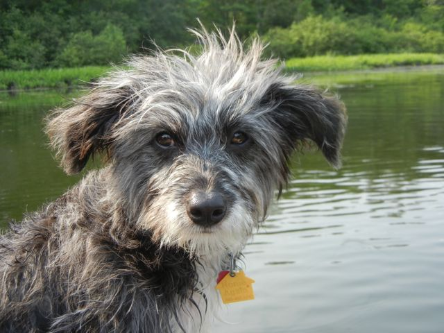 Go Back > Gallery For > Border Collie Poodle Mix