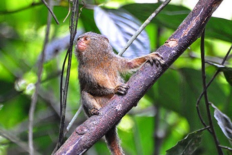 Pygmy Marmoset on branch