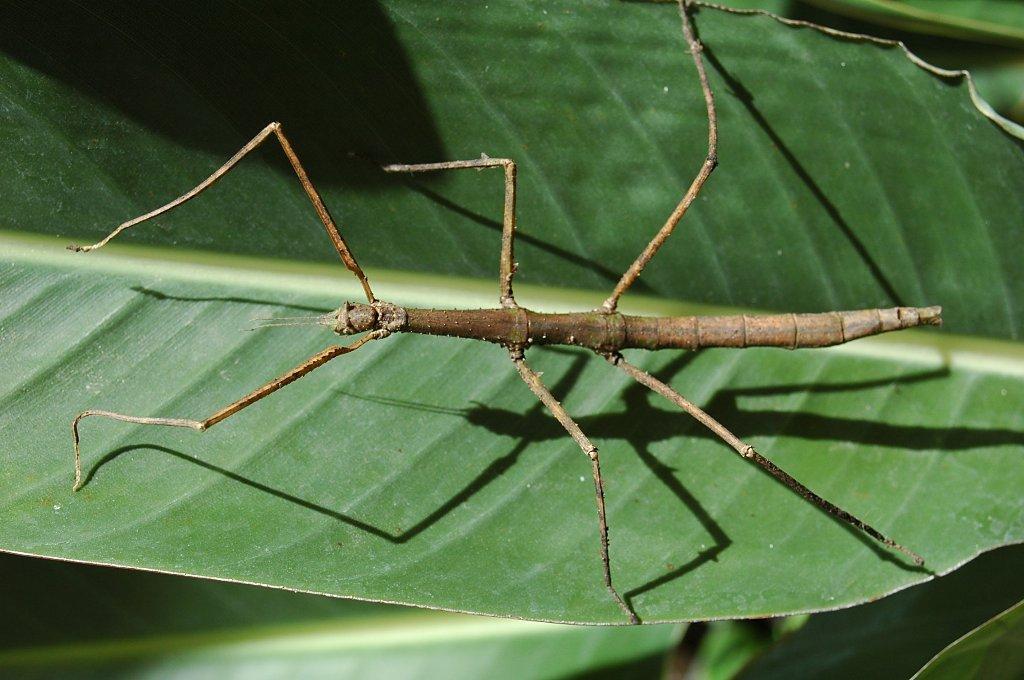 Curiosidades del mundo insectos hoja e insectos palo - Bichos en casa fotos ...