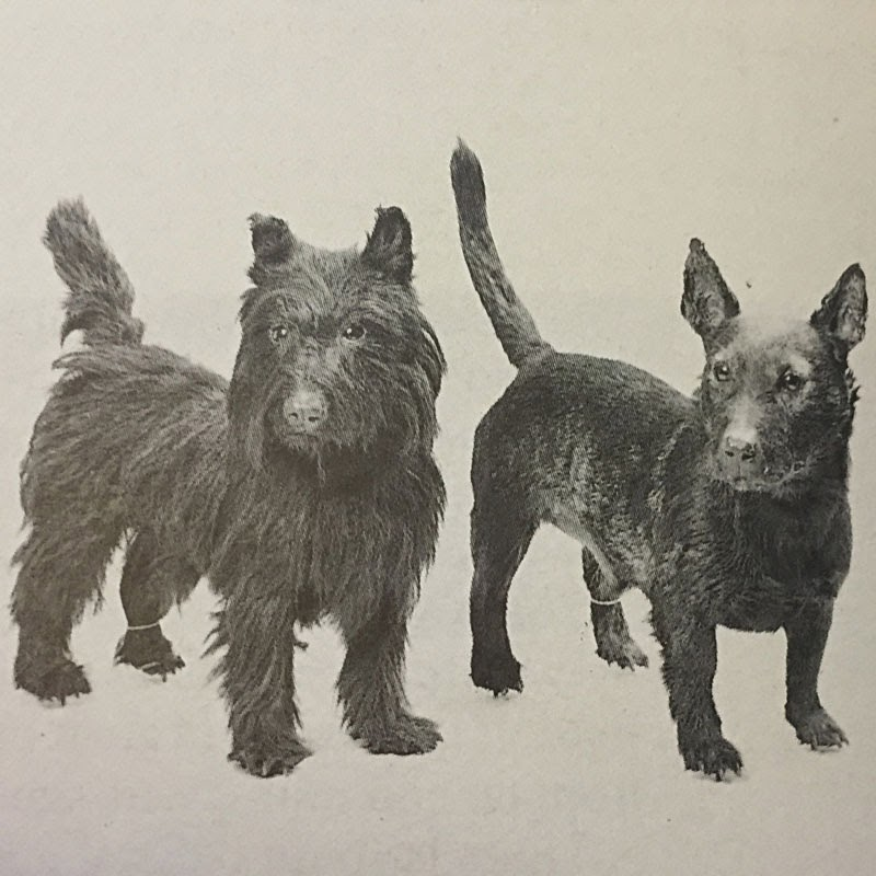The scottish working terrier club