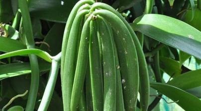 Agro Nusantara - Panduan cara budidaya Panili varietas unggul organik kultur jaringan pupuk poc nasa hormonik supernasa power nutrition pestona pentana bvr glio greenstar distributor resmi pt natural