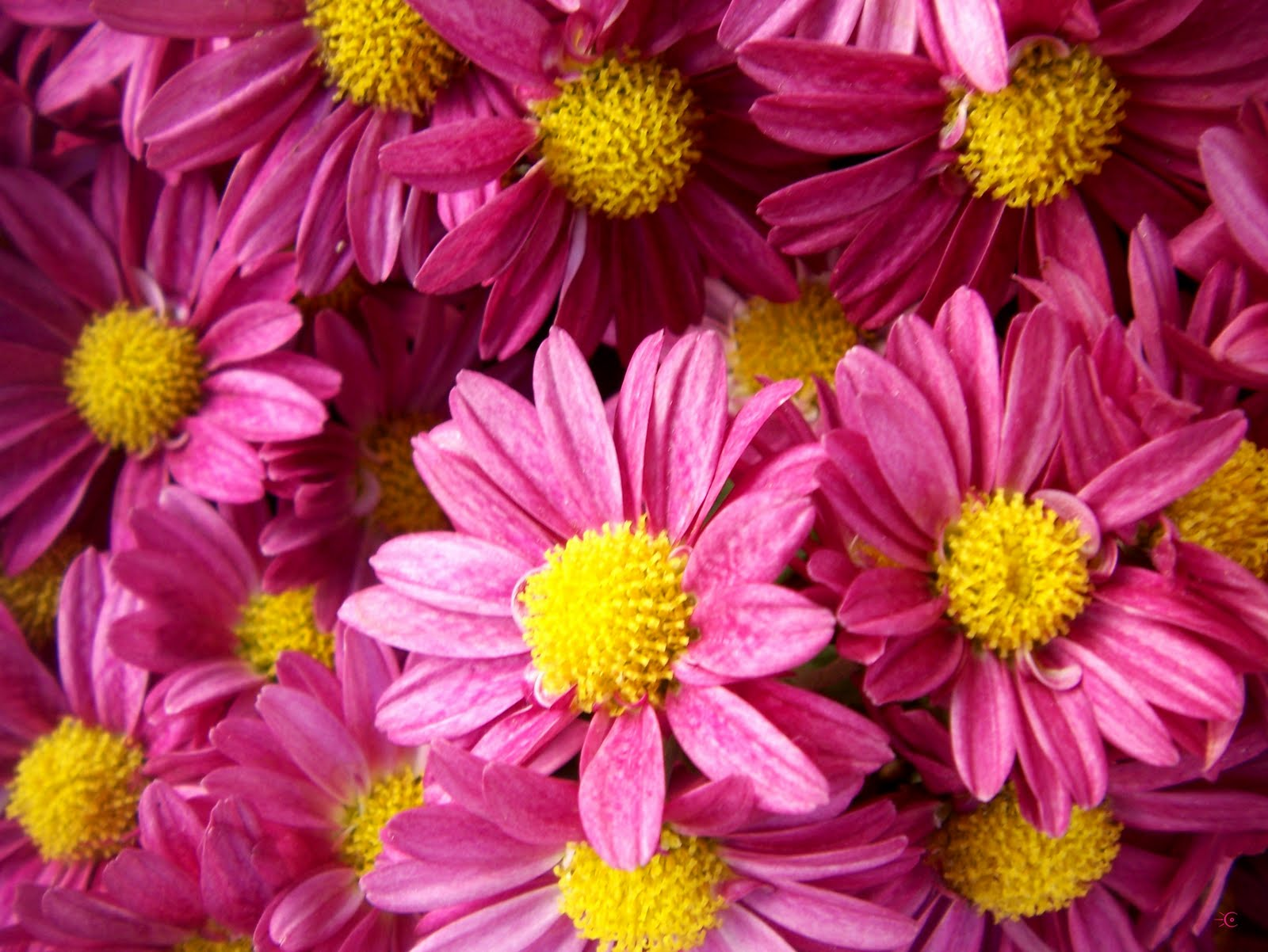 Wallpapernarium flores bonitas - Fotos de rosas de colores ...