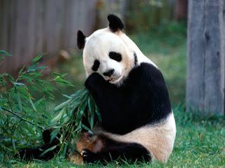 'Panda-preguiça': ciência explica por que o urso é tão lento