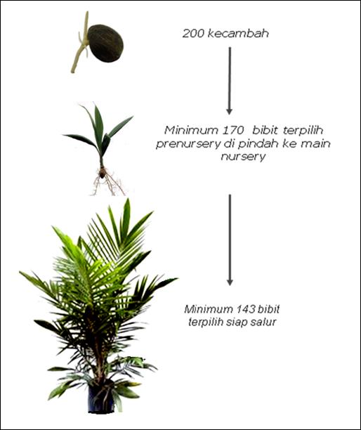 Kebutuhan penyediaan kecambah kelapa sawit