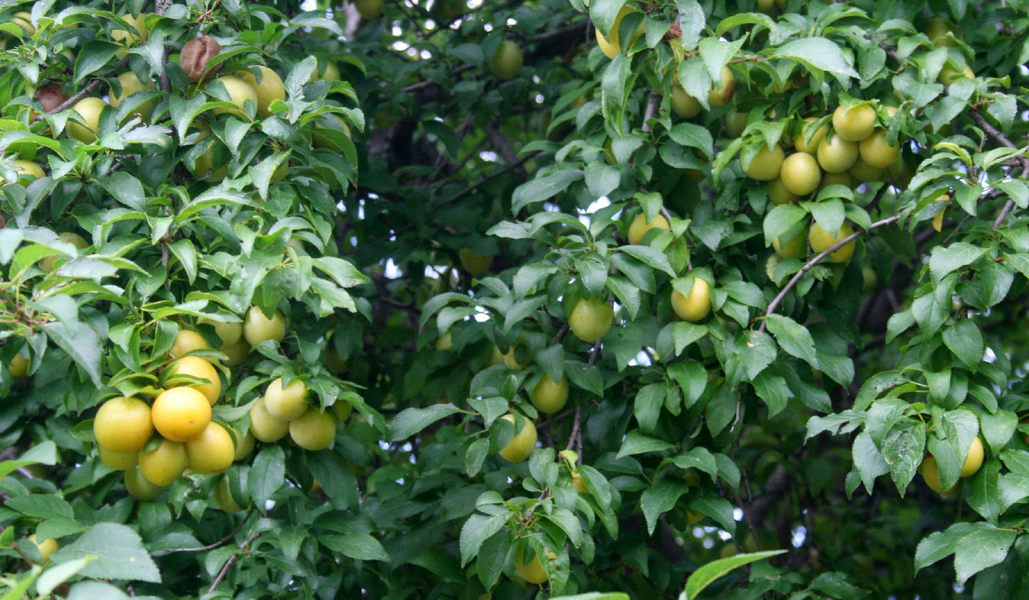 Low hanging fruit waiting to be harvested