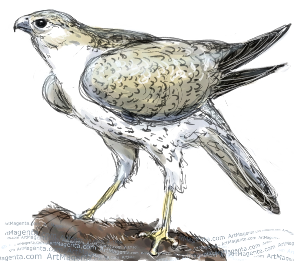 Gyrfalcon sketch painting. Bird art drawing by illustrator Artmagenta