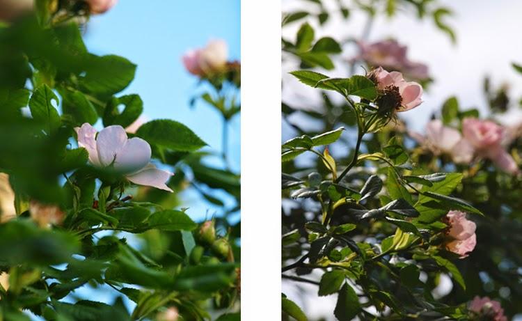 Lyserøde roser i haven