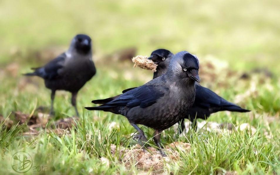 los cuervos suelen molestarse entre si