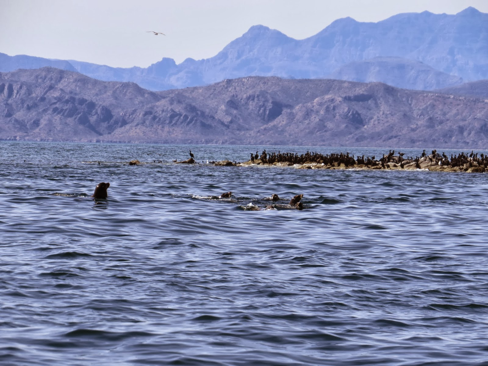 The quixotic angler mulege baja california sur mexico for Baja california fishing
