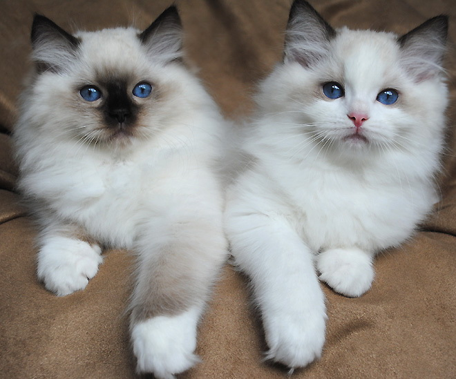 Are ragdoll cats good pets