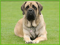mastiff dog pictures
